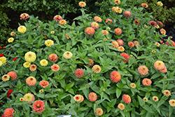 Queeny Lime Orange Zinnia (Zinnia 'Queeny Lime Orange') at Roger's Gardens