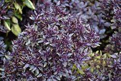Purple Ball Basil (Ocimum basilicum 'Purple Ball') at Roger's Gardens