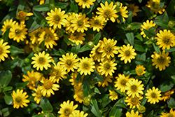 Sunvy Super Gold Creeping Zinnia (Sanvitalia procumbens 'Sunvy Super Gold') at Roger's Gardens