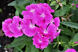 Floral Lace Lilac Pinks (Dianthus 'Floral Lace Lilac') at Roger's Gardens