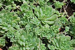 Prolific Echeveria (Echeveria prolifica) at Roger's Gardens