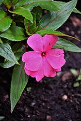 Magnum Clear Pink New Guinea Impatiens (Impatiens 'Magnum Clear Pink') at Roger's Gardens