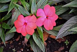 Magnum Hot Pink New Guinea Impatiens (Impatiens 'Magnum Hot Pink') at Roger's Gardens