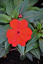 Magnum Red New Guinea Impatiens (Impatiens 'Magnum Red') at Roger's Gardens