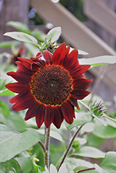 Shock-o-Lot Sunflower (Helianthus annuus 'Shock-o-Lat') at Roger's Gardens
