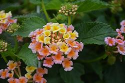 Bandana Peach Lantana (Lantana camara 'Bandana Peach') at Roger's Gardens