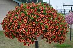 Superbells Tangerine Punch Calibrachoa (Calibrachoa 'BBCAL82201') at Roger's Gardens