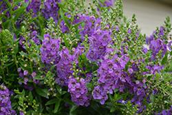Angelface Cascade Blue Angelonia (Angelonia angustifolia 'ANCASBLU') at Roger's Gardens