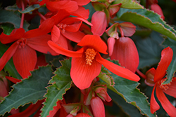 Bossa Nova Red Shades Begonia (Begonia boliviensis 'Bossa Nova Red Shades') at Roger's Gardens