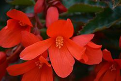 Bossa Nova Orange Shades Begonia (Begonia boliviensis 'Bossa Nova Orange Shades') at Roger's Gardens