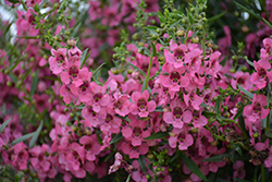 Angelface Cascade Pink Angelonia (Angelonia angustifolia 'ANCASPI') at Roger's Gardens