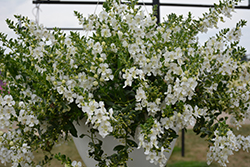 Angelface Cascade White Angelonia (Angelonia angustifolia 'ANCASWHI') at Roger's Gardens