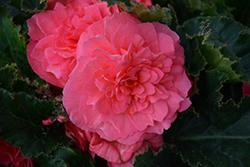 Nonstop Pink Begonia (Begonia 'Nonstop Pink') at Roger's Gardens