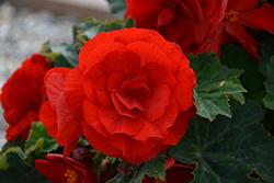 Nonstop Deep Red Begonia (Begonia 'Nonstop Deep Red') at Roger's Gardens