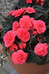 Nonstop Mocca Pink Shades Begonia (Begonia 'Nonstop Mocca Pink Shades') at Roger's Gardens