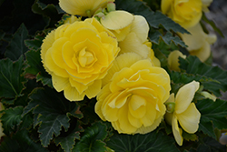 Nonstop Joy Yellow Begonia (Begonia 'Nonstop Joy Yellow') at Roger's Gardens