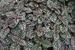 Hippo Pink Polka Dot Plant (Hypoestes phyllostachya 'Hippo Pink') at Roger's Gardens
