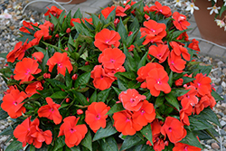 Magnum Red Flame New Guinea Impatiens (Impatiens 'Magnum Red Flame') at Roger's Gardens