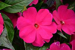Magnum Purple New Guinea Impatiens (Impatiens 'Magnum Purple') at Roger's Gardens