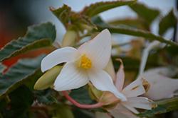 Waterfall Encanto White Begonia (Begonia boliviensis 'Encanto White') at Roger's Gardens