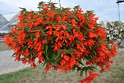 Waterfall Encanto Orange Begonia (Begonia boliviensis 'Encanto Orange') at Roger's Gardens