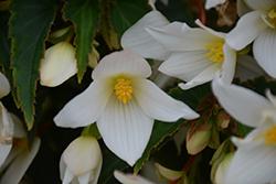 Beauvilia White Begonia (Begonia boliviensis 'Beauvilia White') at Roger's Gardens