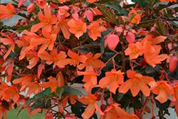 Beauvilia Salmon Begonia (Begonia boliviensis 'Beauvilia Salmon') at Roger's Gardens