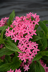 Lucky Star Pink Star Flower (Pentas lanceolata 'PAS1096468') at Roger's Gardens