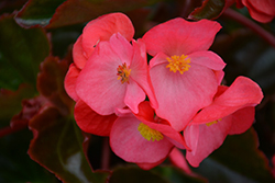 Megawatt Rose Bronze Leaf Begonia (Begonia 'Megawatt Rose Bronze Leaf') at Roger's Gardens