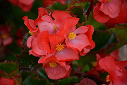 Megawatt Red Green Leaf Begonia (Begonia 'Megawatt Red Green Leaf') at Roger's Gardens