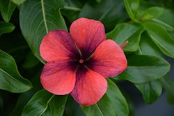 Tattoo Papaya Vinca (Catharanthus roseus 'PAS1192834') at Roger's Gardens
