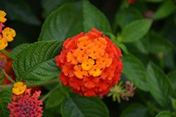 Lucky Red Lantana (Lantana camara 'Lucky Red') at Roger's Gardens