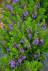 Adessa Blue Angelonia (Angelonia angustifolia 'Adessa Blue') at Roger's Gardens