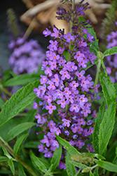 Summer Bird Blue Butterfly Bush (Buddleia davidii 'Summer Bird Blue') at Roger's Gardens