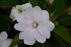 SunPatiens Vigorous Clear White Impatiens (Impatiens 'SAKIMP036') at Roger's Gardens