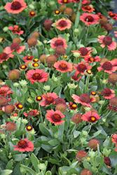 Spintop Red Blanket Flower (Gaillardia aristata 'Spintop Red') at Roger's Gardens