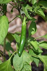 Flaming Jade Hot Pepper (Capsicum annuum 'Flaming Jade') at Roger's Gardens