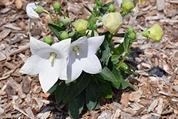 Pop Star White Balloon Flower (Platycodon grandiflorus 'Pop Star White') at Roger's Gardens