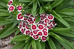 Barbarini Red Picotee Sweet William (Dianthus barbatus 'Barbarini Red Picotee') at Roger's Gardens