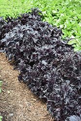Purple Ruffles Basil (Ocimum basilicum 'Purple Ruffles') at Roger's Gardens