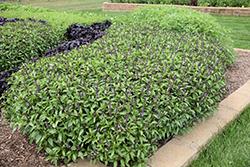 Cinnamon Basil (Ocimum basilicum 'Cinnamon') at Roger's Gardens