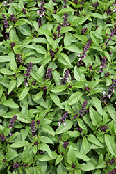 Licorice Basil (Ocimum basilicum 'Licorice') at Roger's Gardens