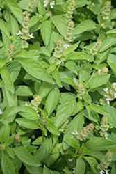Lime Basil (Ocimum americanum 'Lime') at Roger's Gardens