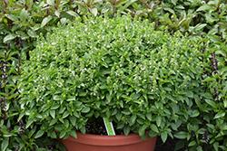 Spicy Globe Basil (Ocimum basilicum 'Spicy Globe') at Roger's Gardens