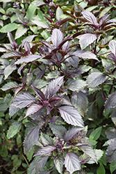 Corsican Basil (Ocimum basilicum 'Corsican') at Roger's Gardens