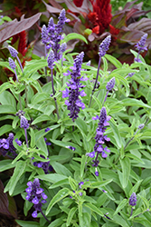 Evolution Deep Violet Salvia (Salvia farinacea 'Evolution Deep Violet') at Roger's Gardens