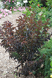 Black Diamond Purely Purple Crapemyrtle (Lagerstroemia indica 'Black Diamond Purely Purple') at Roger's Gardens