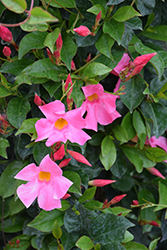 Sun Parasol Pretty Pink Mandevilla (Mandevilla 'Sun Parasol Pretty Pink') at Roger's Gardens