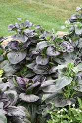 Tasty Pagoda Purple Pak Choi (Brassica rapa 'Tasty Pagoda Purple') at Roger's Gardens
