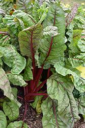 Ruby Red Swiss Chard (Beta vulgaris var. cicla 'Ruby Red') at Roger's Gardens